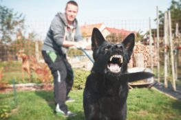 black dog on leash showing teeth ready to bite