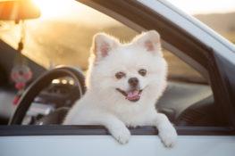 white pomeranian dog leaning outside car window. sunset